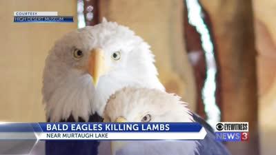 Officials Bald eagles kill 54 sheep at farm in Idaho, June 2021